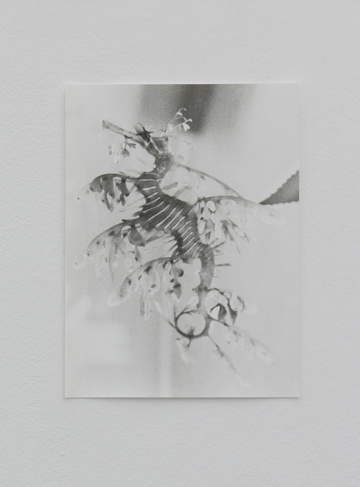 Untitled (Seadragon), 2016 | Zostera & Posidonia | ProjecteSD